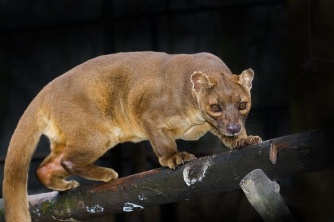 Meet the euplerids, the strange carnivores of Madagascar https://t.co/NJdfpJs9bP @am_anatiala got me curious @ 'em! https://t.co/BR9twXAQkq