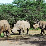 Japan, German researchers trying to save endangered rhinos using iPS cells