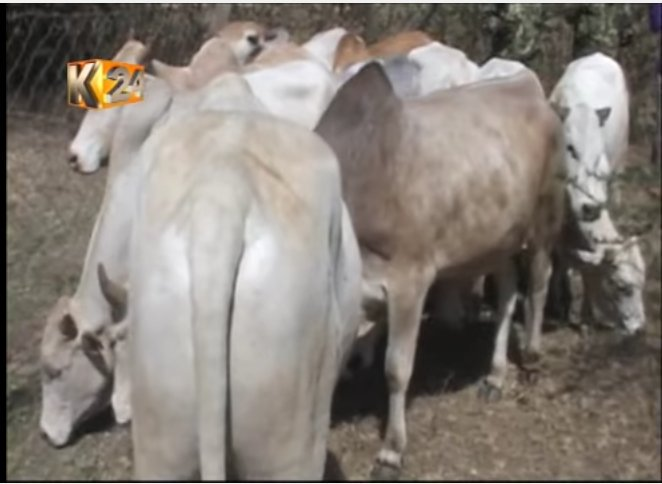 14 stolen cattle recovered in Samburu County