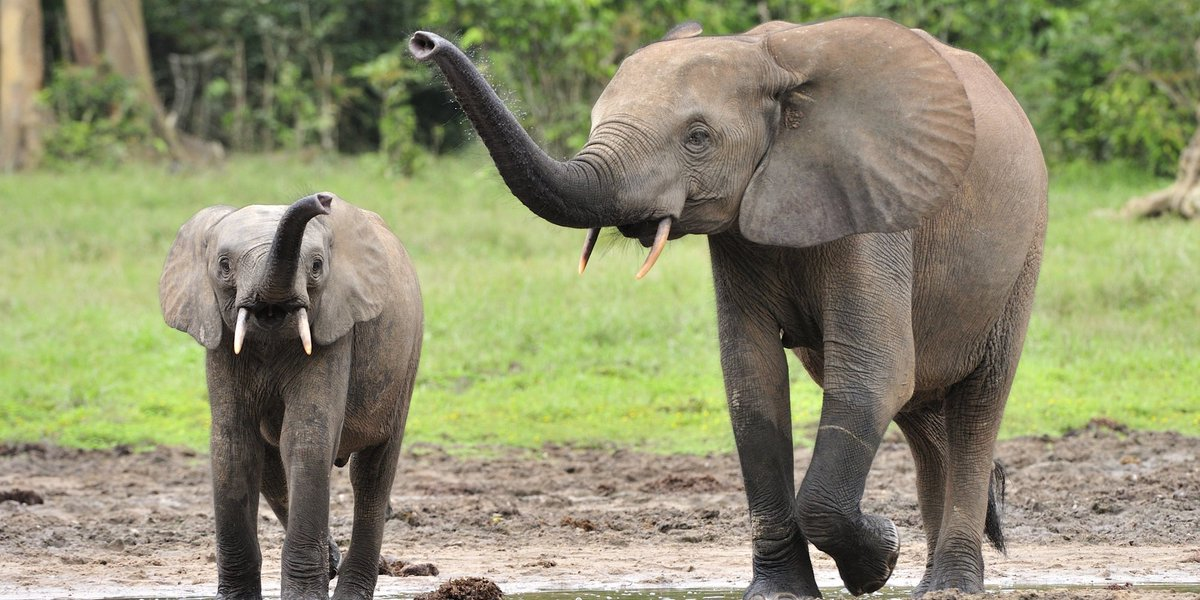 "Poachers have all but emptied this ""sanctuary"" of forest elephants"