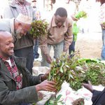 DNA test finds Meru miraa not same as others grown globally
