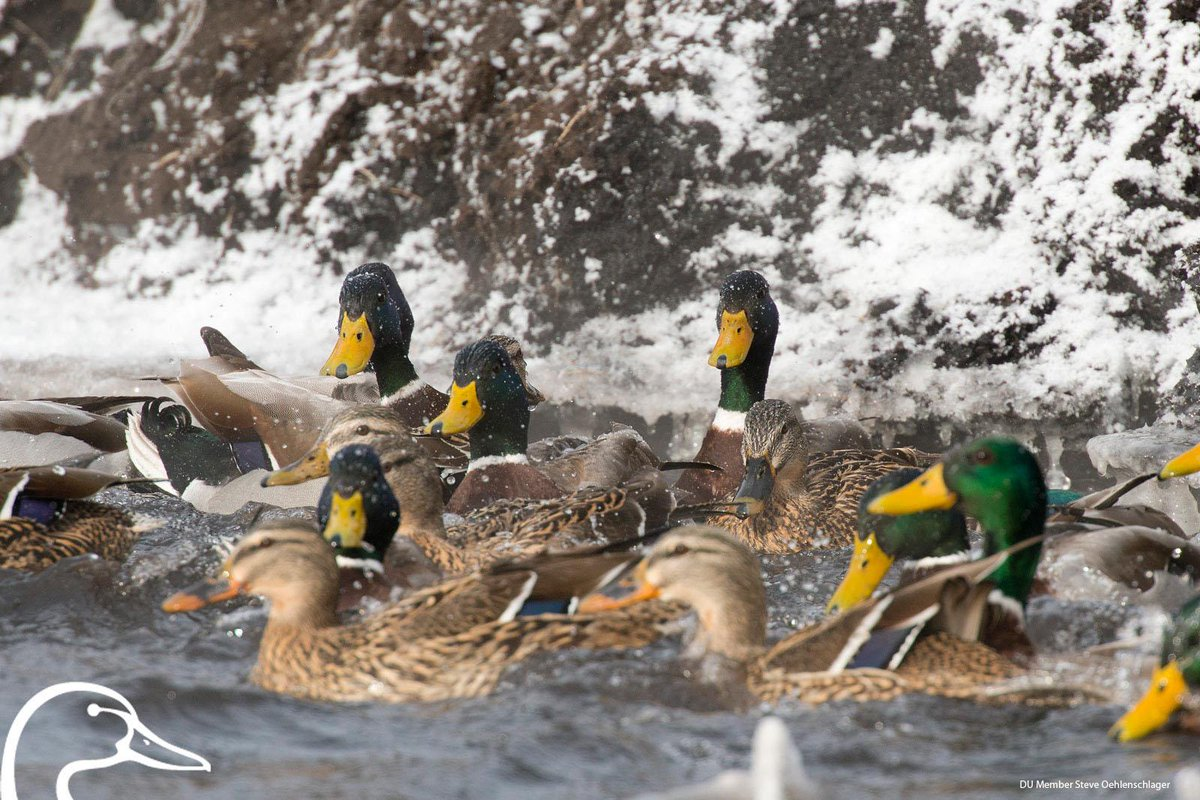 This is our kind of green. Happy St. Patrick's Day! #conservation #Mallards #waterfowl #wetlands http://t.co/M5ZR5081iL