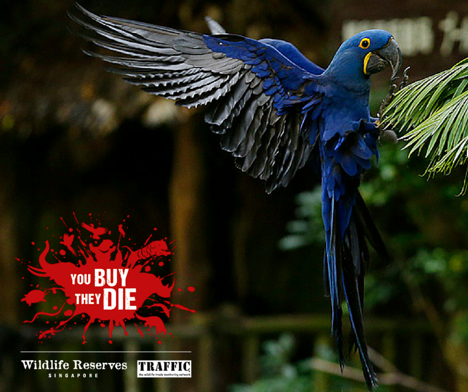 Illegal pet trade of hyacinth macaws could spell the end for these grand birds: http://t.co/vJyZ3b1aec #YouBuyTheyDie http://t.co/niznkd7Rrf