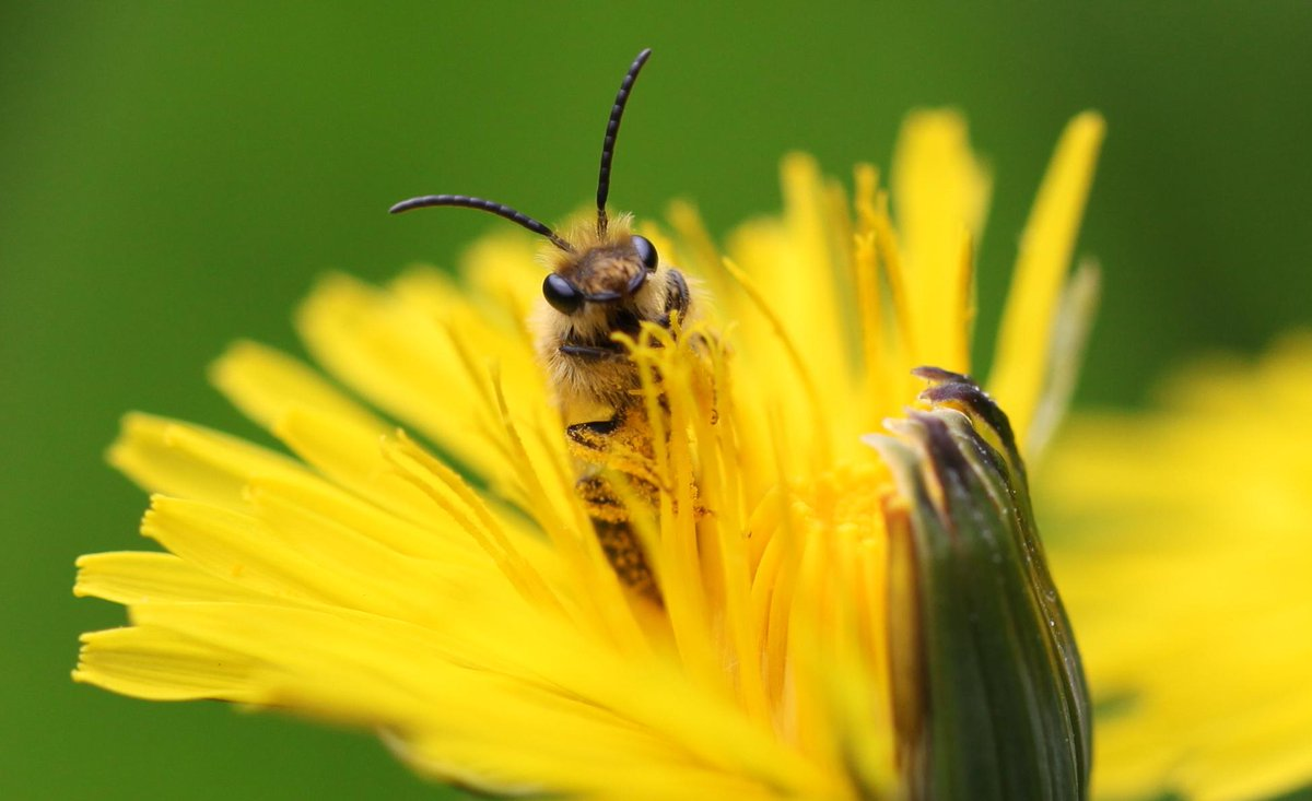 Hi there Twitter, I'm Andrena nitida, a solitary #bee partial to Dandelions & Hawkbits…so please don't pull them up! http://t.co/M12qqdBxTR