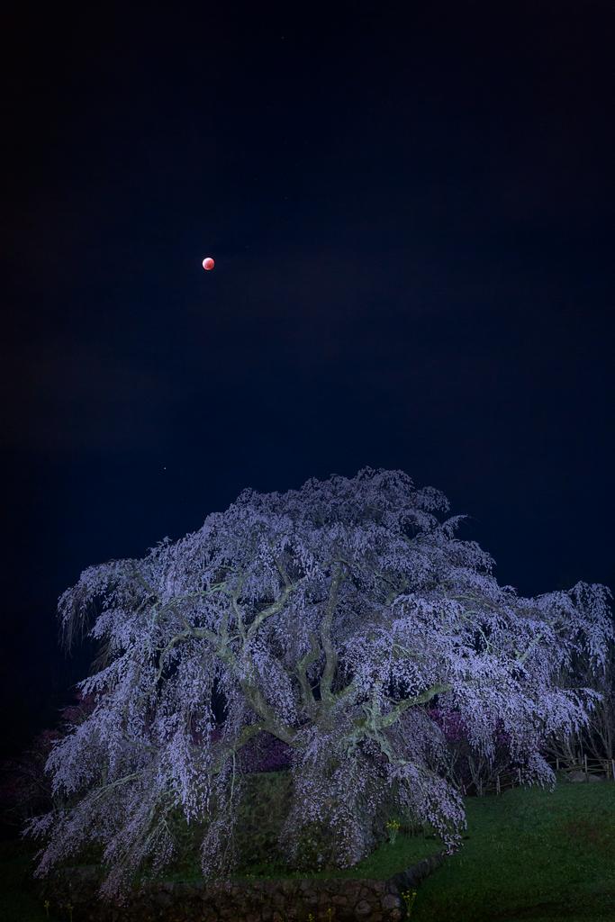 キレイだなぁ #ascl RT @kagedan_3: 昨夜の又兵衛桜と皆既月食の高画質版です「赤銅色の月を背負い」 http://t.co/D2ORHjncqR #月食花見 #tenkijp  #皆既月食 #lunareclipse http://t.co/fKujSTTQIi