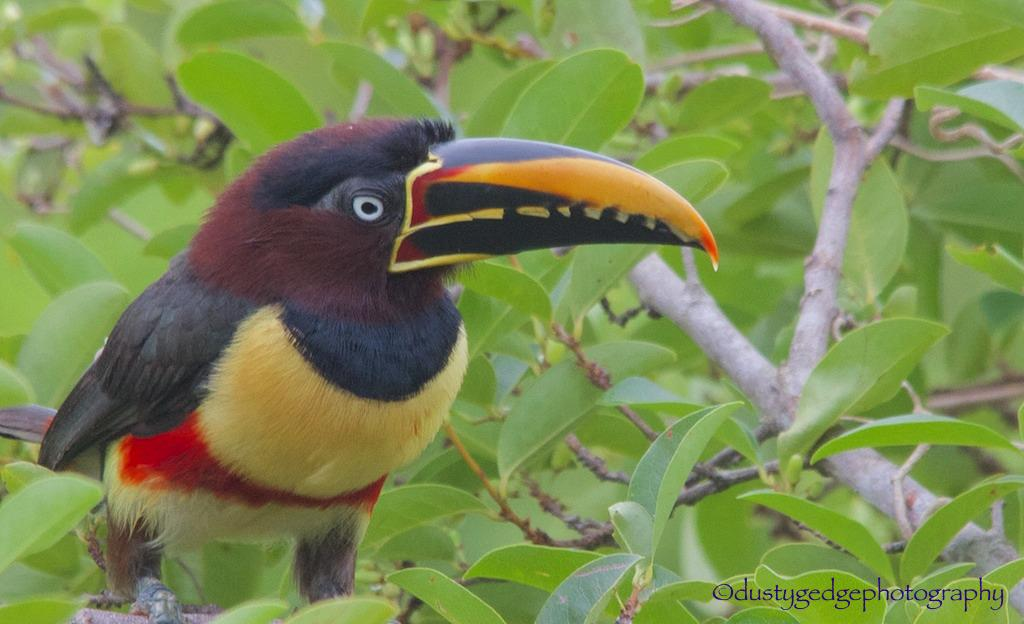 Funkiest beak in the jungle - #nature #wildlife #birds #photography #Brazil http://t.co/xWSyUD6jZW