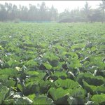 Cabbage farm on my way from shoot outskirts of Bengaluru .... Love this smile of the earth.... Cheersss http://t.co/NpdmDj1AP6