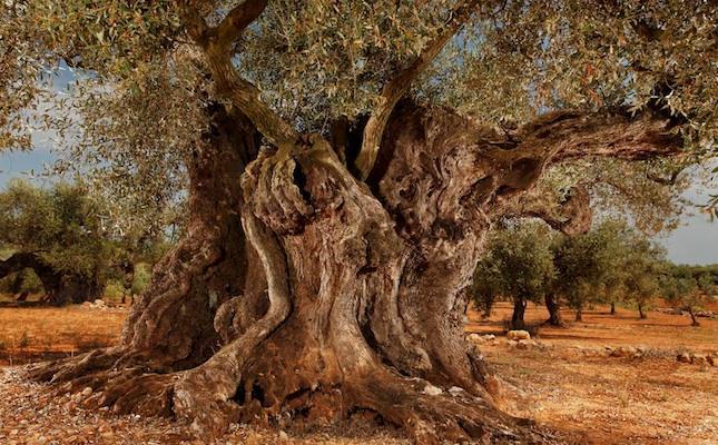 Una #olivera d' #Ulldecona es va plantar quan regnava l'emperador Constantí http://t.co/BaMwBpKECN @mancomunidadtds http://t.co/MAql2yi5CK