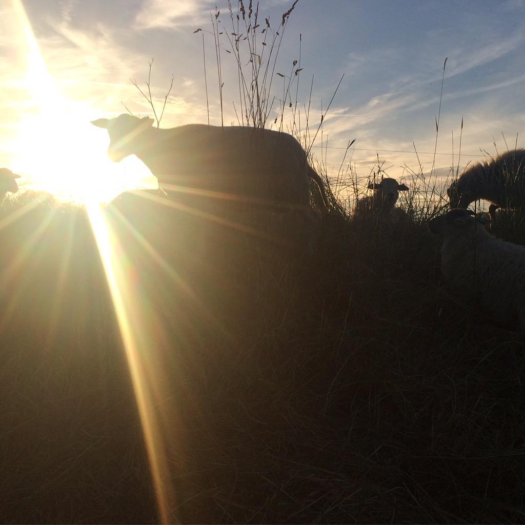 Het was weer een mooie avond aan #hetverlaat  #sheepatwork @BuytenDelft @SheepatworkNL *NL op haar mooist* http://t.co/pD32hZb8mj
