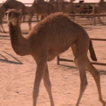 RT @VICE: In This Episode Of The VICE Guide To Travel, We Look At The Miss Camel Beauty Contest: http://t.co/JetBAXNXSN