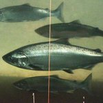 Why are thousands of migratory salmon dying before they can spawn? http://t.co/WuuYceytJ1 http://t.co/ou7gz7NIcF