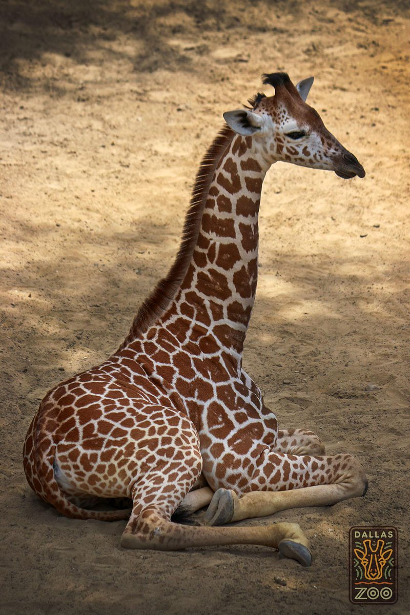 We are devastated to share the tragic loss of our beloved giraffe calf, Kipenzi. More details: http://t.co/p0tmdcC2Kp http://t.co/pPavK6xi6V