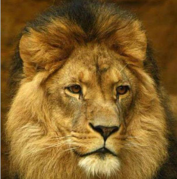 Sadly...the #lion sleeps tonight. RIP #CecilTheLion http://t.co/HH7JenPkiv
