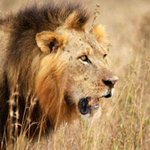 Expert casts doubt on reports of second lion killing in Zimbabwe http://t.co/eERAwhRx9W http://t.co/bzYEcQSHZg
