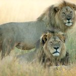 UPDATE: Cecil the lions brother Jericho is alive! http://t.co/bwUeu2ZNjw http://t.co/Tw8irTuBJM