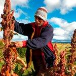 #Perú desplaza a #Bolivia como mayor productor de quinua en el mundo http://t.co/K3U0ewxtQD http://t.co/bZovLnXufm