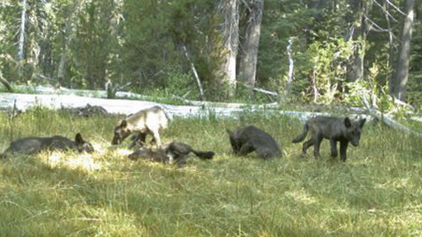 RT @latimes: Gray wolf packs haven't been seen in CA since 1924 – until the Shasta Pack: 2 adults, 5 pups http://t.co/FM2TLBfUVN http://t.c…
