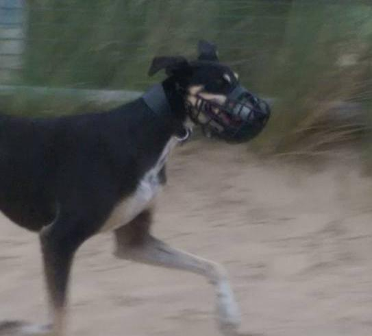 Loose #dog #Ainsdale coast/beach wearing muzzle - have you lost your dog? Please share. http://t.co/gvp39exoGK http://t.co/vsWVCmqqLm