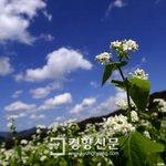 하얀 가을 지금 평창에는 메밀꽃이 활짝~http://t.co/99ZsNdLnxL http://t.co/KJqzyWuj02