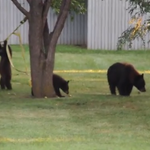 #HowCuteIsThis  Mama Bear & her cubs trying to Slackline! https://t.co/XDJPkF2k0I #YouTube https://t.co/A58kcw5Saz (Via @timmayer #BoulderCO