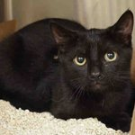 SAUVIGNON-A1048891-might be KILLED TOMORROW! Please RT-share-pledge-foster-adopt! #NYC #CATS http://t.co/SIKBvXUo05 http://t.co/SDEY8kdE1z