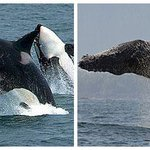 Would you rather breach like a Humpback or leap like an Orca? #BigBlueLive is on now! RT for Humpback. Fav for Orca. http://t.co/HHfrgZiymV