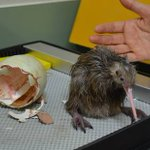 Auckland Zoo has welcomed its first kiwi chick of the season http://t.co/MdlTn3opiZ http://t.co/pE99tUQcqJ
