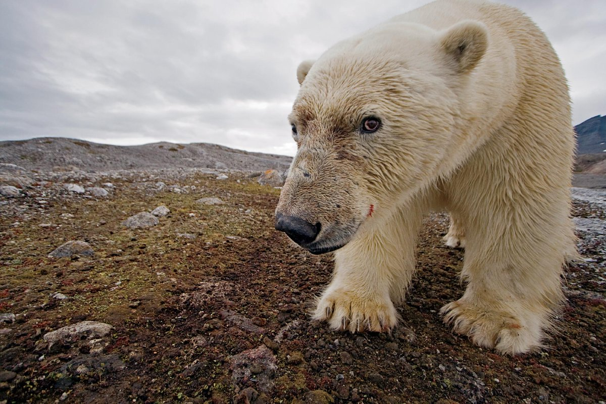 """There are fewer than 25,000 polar bears left in the wild."" http://t.co/7Z5bW3K5Wa #climatechange @IrinaGreenVoice http://t.co/O6J9EWUXx0"