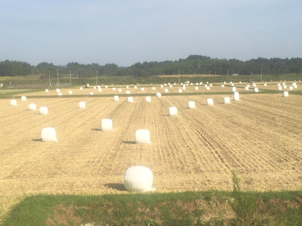 ここ、宮城県では、マシュマロが収穫の時期を迎え、今にも出荷されるのを待つばかりとなっています。 http://t.co/nOoZaR8GBq