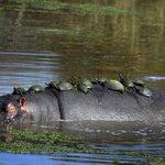 Lista traz hipopótamo dando carona a tartarugas e mais cenas curiosas http://t.co/gzGjW50v8d #PlanetaBizarro #G1 http://t.co/SubPfzAC4n