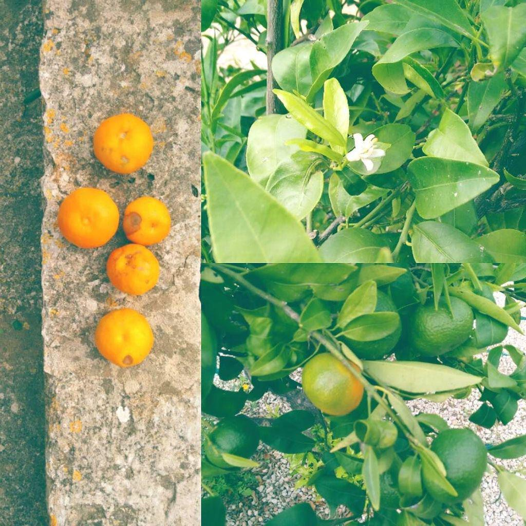 Mandarinen reifen & blühen in Santanyí http://t.co/qfBenNme6G