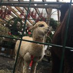 LOOK AT THIS ALPACA HIS NAME IS LUKE https://t.co/2vN0JLsGNk