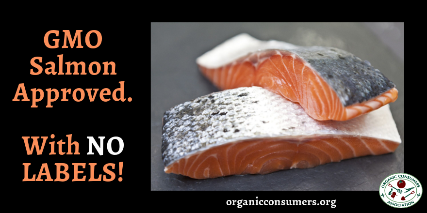 BREAKING NEWS!  #GMO salmon has been approved... and it will NOT be labeled! https://t.co/xPehQy1wxF #LabelGMOs https://t.co/jZ5OcIojuo