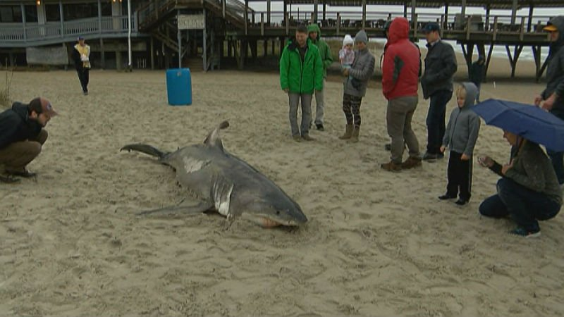 A large shark washed up on #WrightsvilleBeach this morning >>  https://t.co/4w9ODYhRPR #ilm https://t.co/IWa3iIX2gq