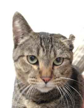 12/7の夜に迷い猫を保護しております。お心当たりある飼い主様、ご連絡を願います。 キジトラ/成猫/オス/4kg 左耳が子猫の時に病気等で小さくなっています。 人懐っこく誰が触っても嫌がりません。 連絡先:06-6971-1261 https://t.co/Zfokm82hdA