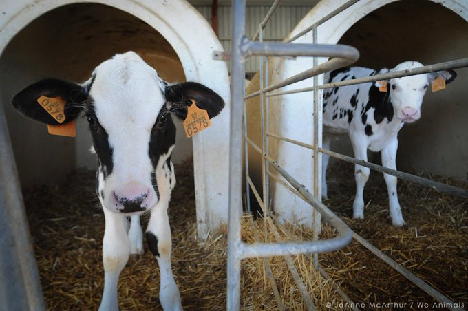 Male calves from dairy farms are kept from moving in tiny pens so their flesh is tender for veal. #NationalMilkDay
