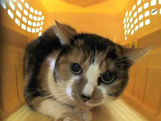 10 lb PEACHES needs U to give her a loving home again!  #PLEDGE #FOSTER #ADOPT  https://t.co/Dxmn9qufqr In #NYC ACC https://t.co/J1HVyqyckS