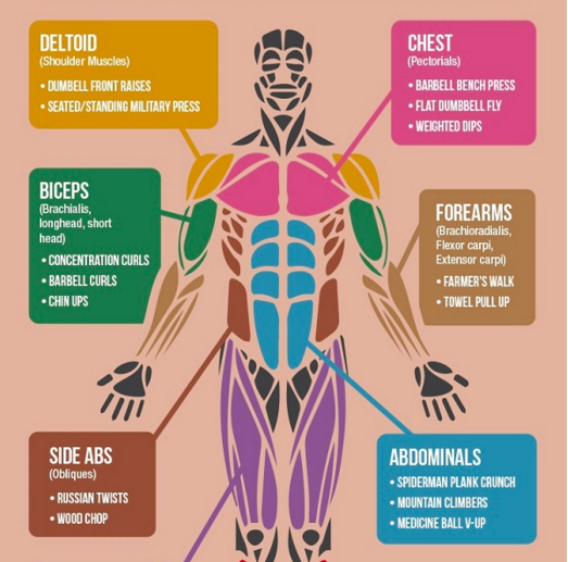 the 'best' exercises for each muscle group in the body - scoopnest, Muscles