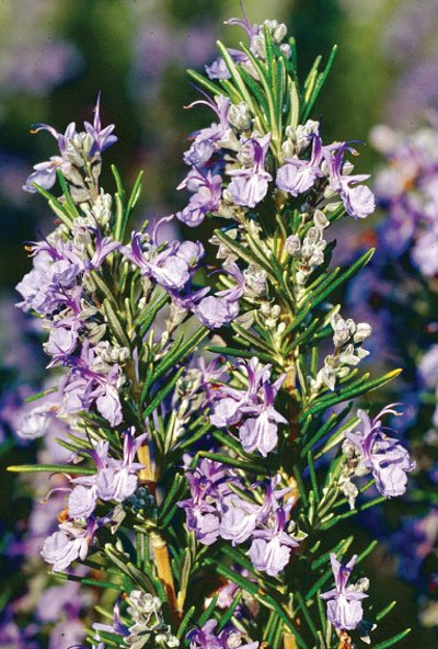 Rosemary, the signature scent of the season, can boost your mood and your brain! .https://t.co/Tzd32vvUn6 https://t.co/MdlR3bOLXV
