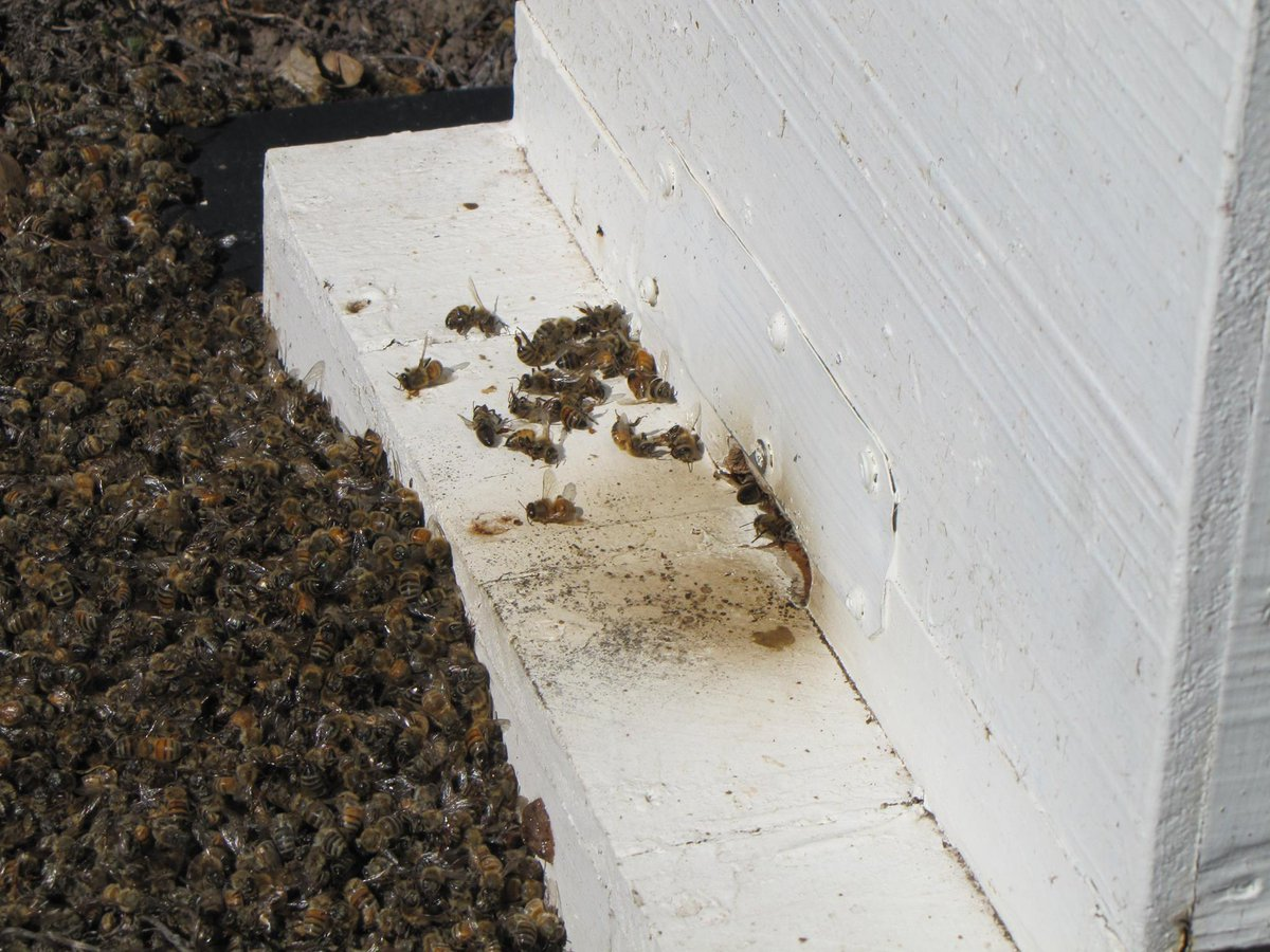 Thousands of dead #honeybees. Why? Because someone sprayed lawn beetle treatment containing Cyfluthrin on their lawn https://t.co/KM8CC4yctX