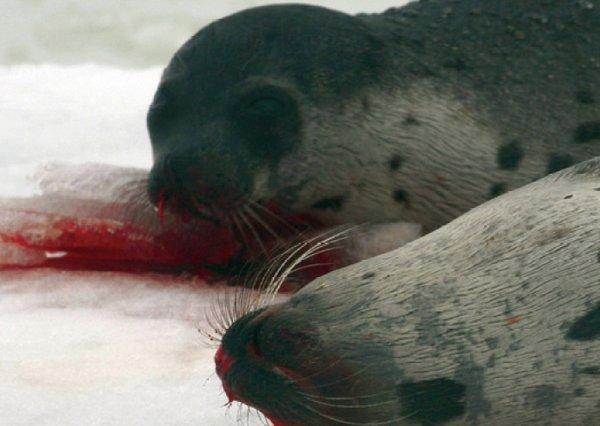 RT @FBB_PORTEPAROLE: La chasse aux phoques est moribonde mais elle fait honte au Canada... @JustinTrudeau abolissez cette barbarie ! https:…