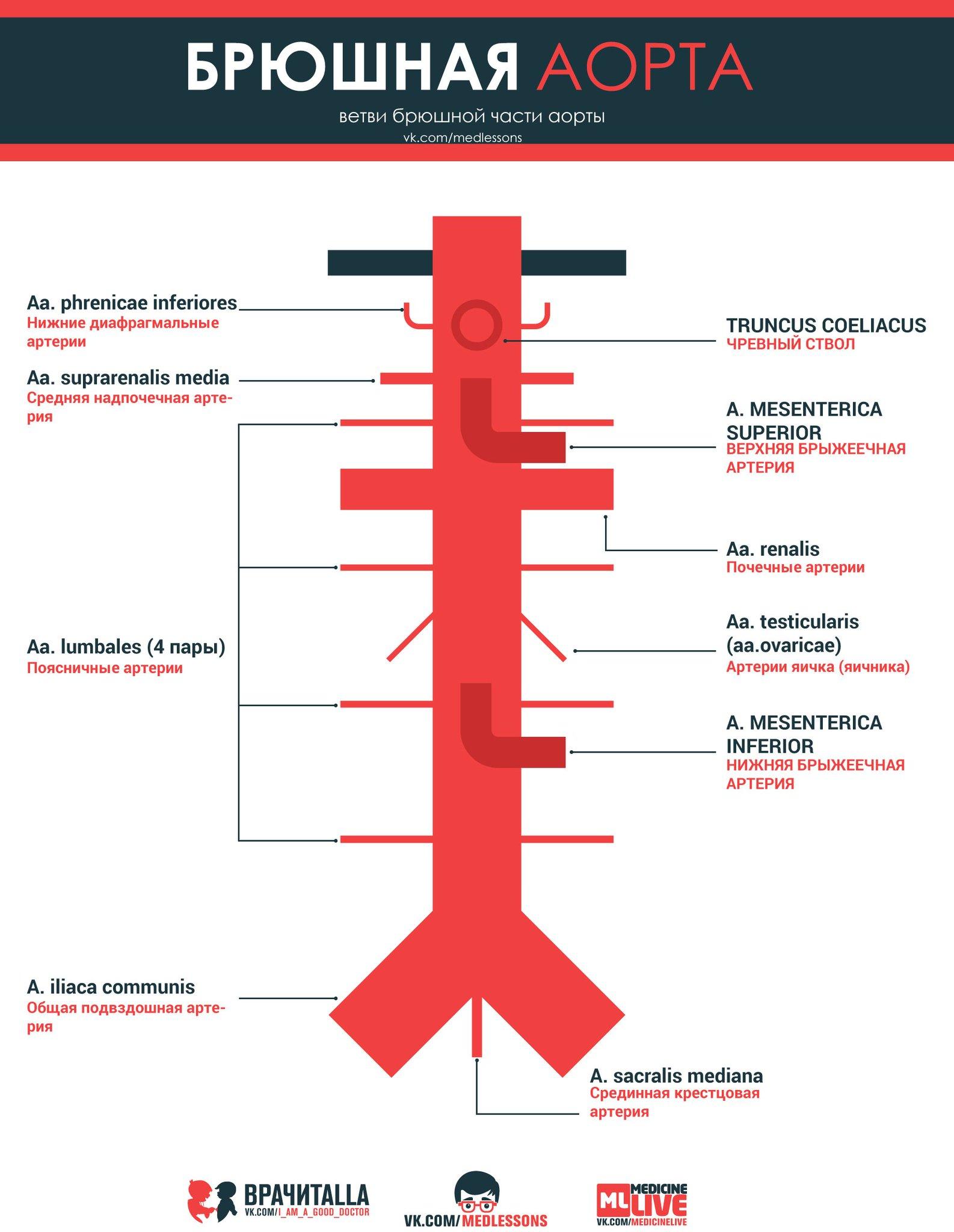Аорта и ее ветви анатомия схема