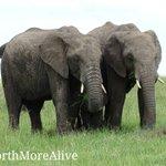 SAVE THE ELEPHANTS.. NOW is the time to act! Say NO to ivory! #worthmorealive #StopTheTrade cc @kwskenya @tunajibu https://t.co/oxJzloOmi6