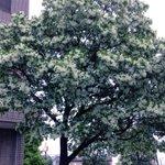ただいま花満開【なんじゃもんじゃの木】明治時代、今の明治神宮外苑沿いにこの木があり、名前がわからず「何の木じゃ?」と呼ばれているうちに「なんじゃもんじゃ」という名になった、と言われています!高松5-8ホテル裏手です。 #珍しい #花 https://t.co/8RC5XWs3Xp
