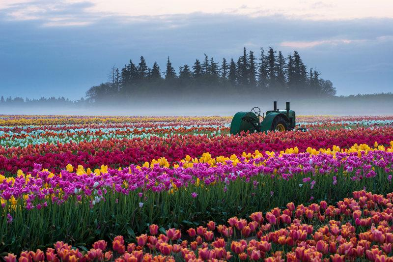 Tulip field in #Oregon   Photography by ©Wongkongkathep https://t.co/5ybF4sPsRC