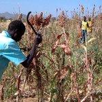 Aujourd'hui l'Afrique est le principal producteur, avec le Nigeria en tête, et consommateur de mil dans le monde https://t.co/tzvaeQ9BNQ