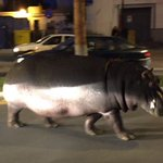 This escaped hippo caused chaos in a Spanish town during his 15 minutes of freedom. https://t.co/UlnTGZq1ci https://t.co/Mzi40sqkAh