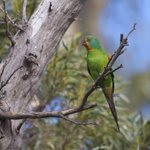Swift parrots uplisted by Minister @GregHuntMP to critically endangered https://t.co/IhVudjjHoM https://t.co/VIuLQYQpMi