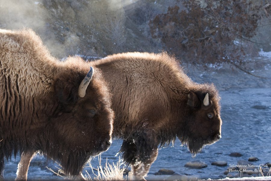 RT @Wilderness: It's official! @POTUS has signed the American bison as our national mammal https://t.co/oDiZ1mM5G1 https://t.co/EOIqC22rfp