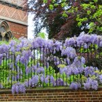 #Wisteria blooming at Keble College #Oxford https://t.co/J3dLTTQVRs